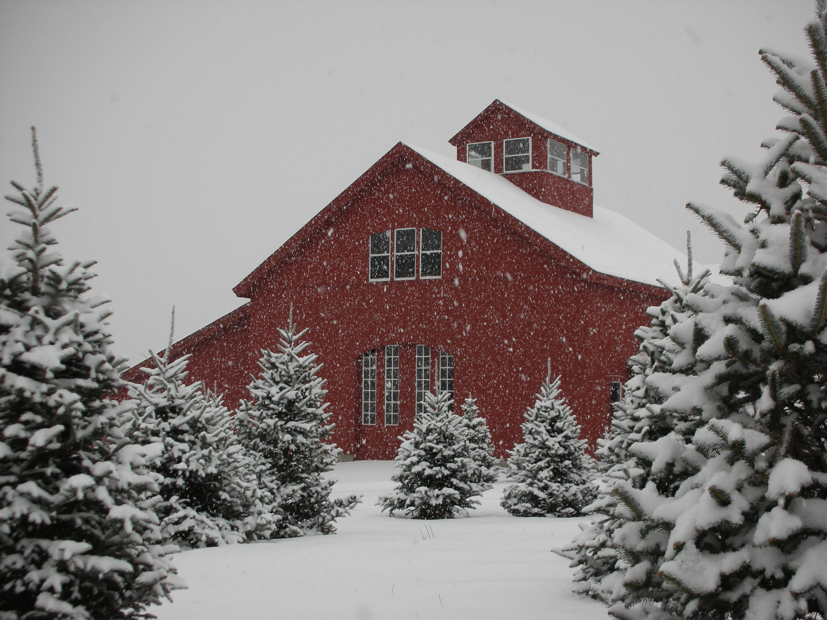 Christmas Tree Farms In Ct